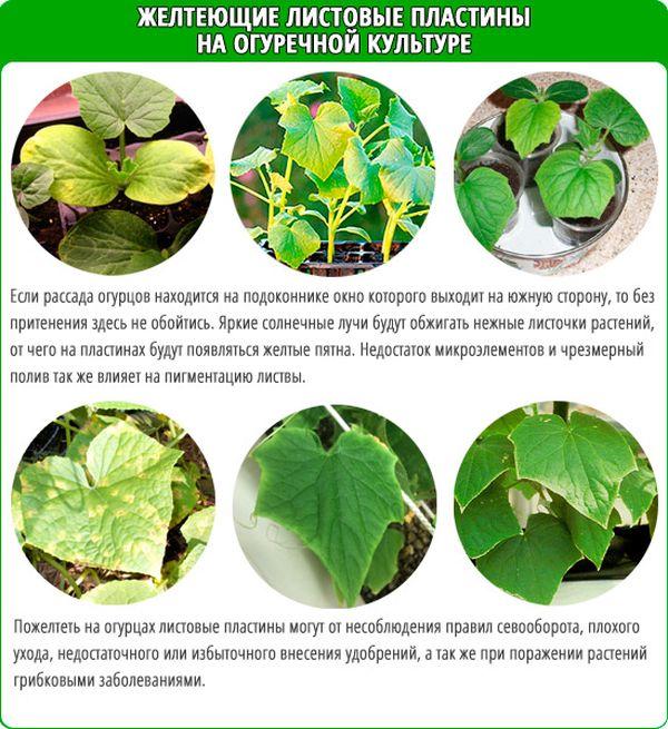 Почему желтеют листья у перца: что делать, лечение,профилактика