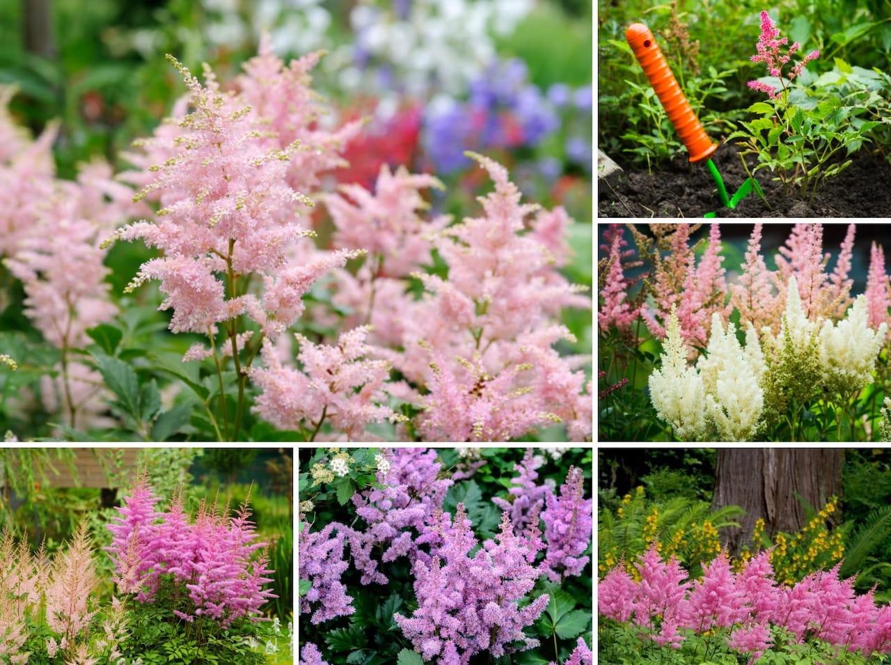 Морозостойкие многолетние цветы для урала