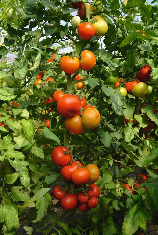 Томат кибо f1 — описание сорта, отзывы, урожайность