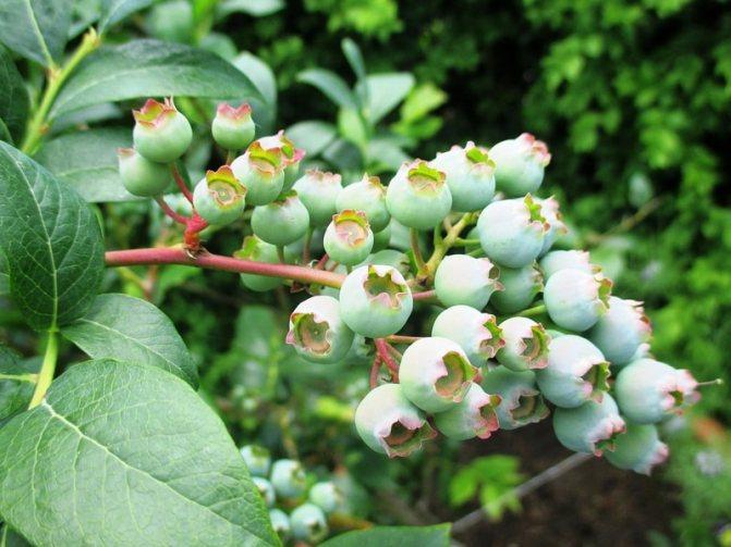 Голубика садовая: выращивание в теплице, посадка и уход, фото + отзывы