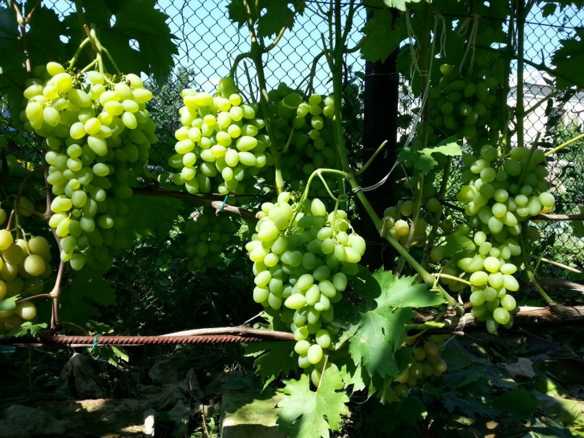 Сорт винограда супер экстра: описание сорта с характеристикой и отзывами, а также особенности посадки и выращивания, фото