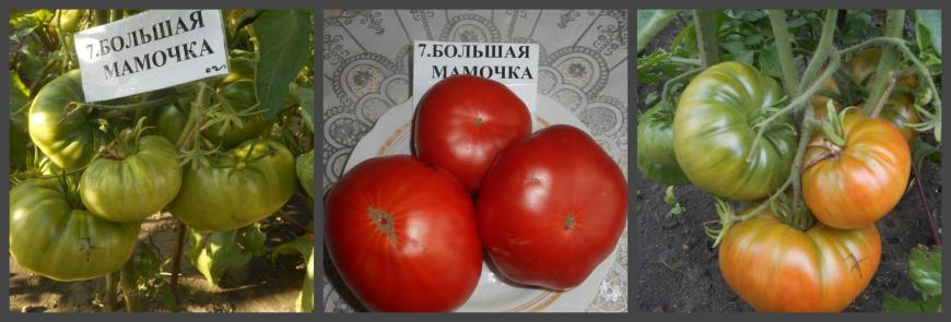 Томат «большая мамочка»: новинка российской селекции с хорошей урожайностью, для открытого грунта и теплиц