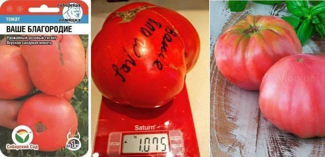 Томат ваше благородие: описание и характеристика сорта, урожайность с фото