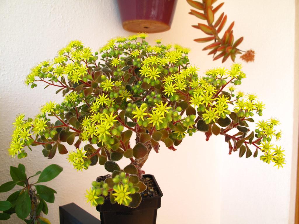 Дерево любви аихризон: приметы и суеверия для дома, фото