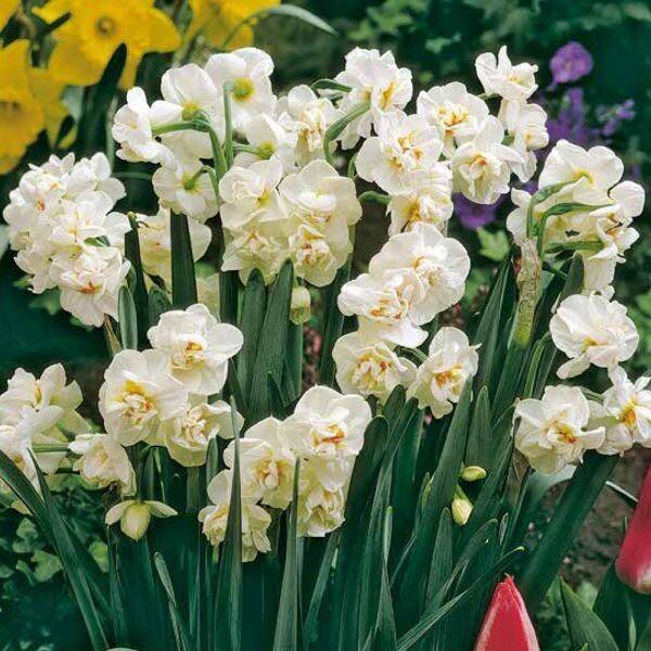 Нарцисс калгари: описание и характеристики сорта, выращивание, размножение