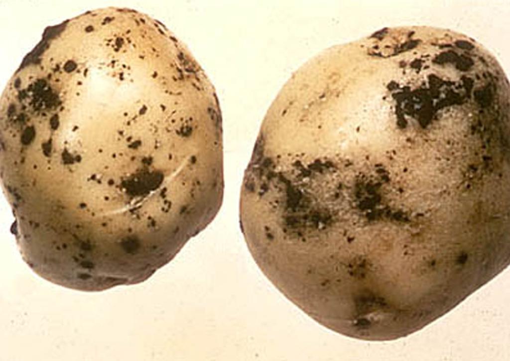 Парша картофеля: описание и лечение, эффективные меры борьбы с ризокнониозом, фото