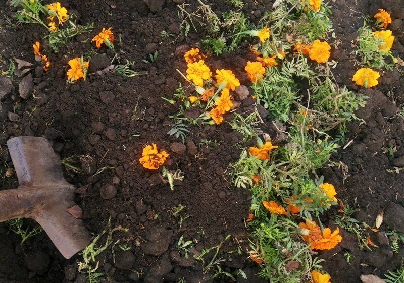 Бархатцы – посадка и уход, посев семян