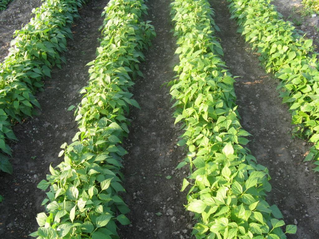 Фасоль: выращивание на огороде, хранение, сорта