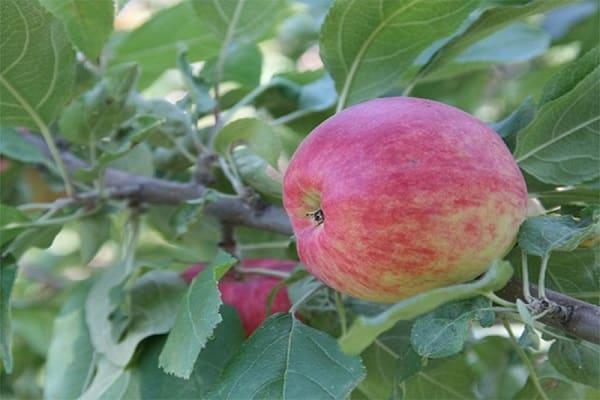 Описание сорта яблони имант: фото яблок, важные характеристики, урожайность с дерева