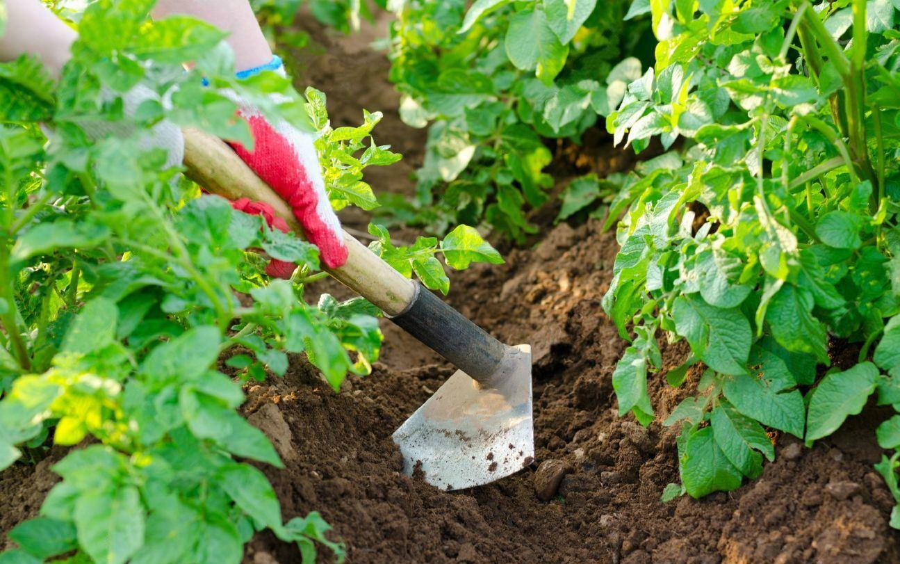 О выращивании раннего картофеля: посадка и уход за ним