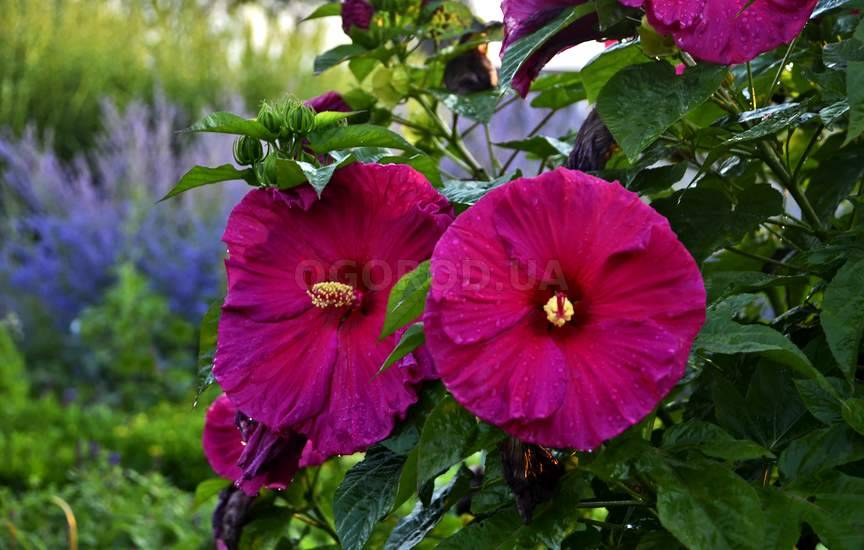 Гибискус садовый (сирийский): посадка и уход в открытом грунте, выращивание из семян