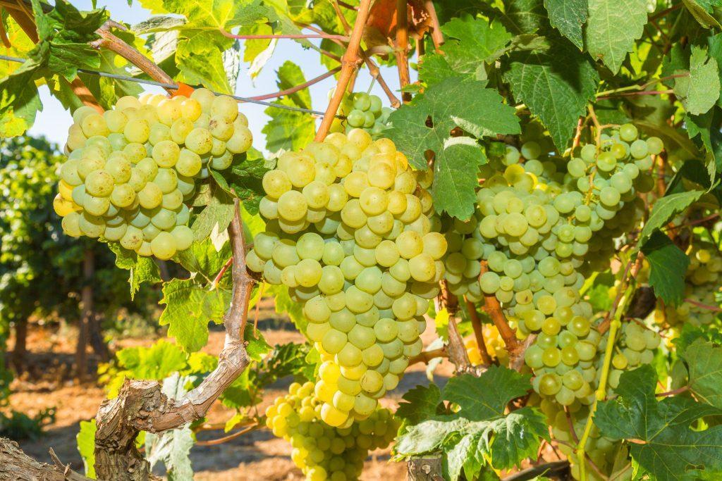 Виноград русбол улучшенный: описание сорта, фото, отзывы