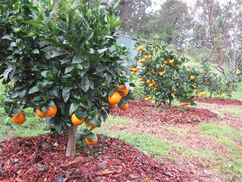 Низкорослые фруктовые деревья для сада