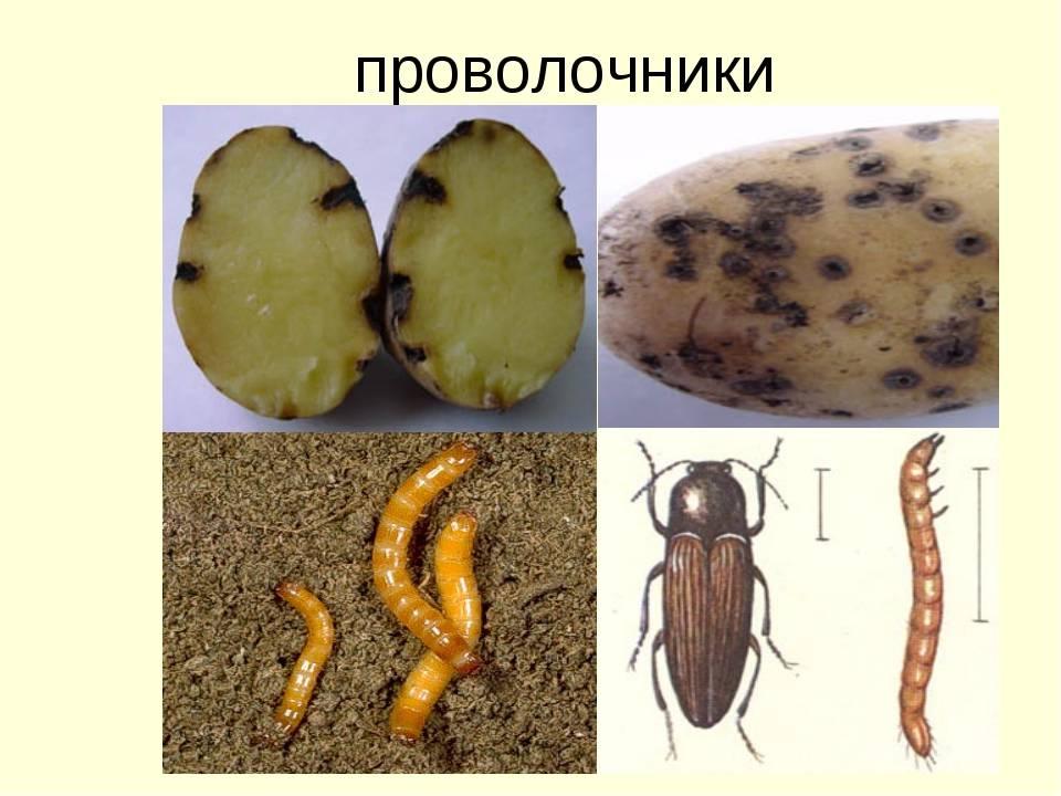 Болезни и вредители картофеля