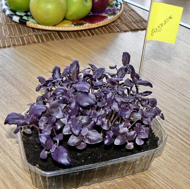Как выращивать базилик семенами в домашних условиях, посадка на рассаду