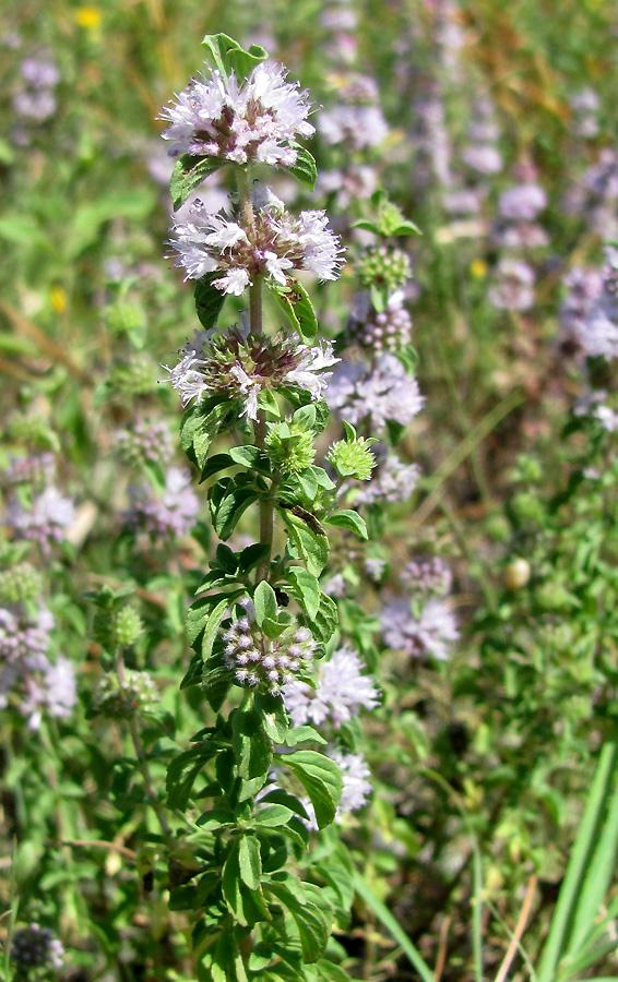 Декоративная и лечебная мята болотная: описание, фото и нюансы выращивания