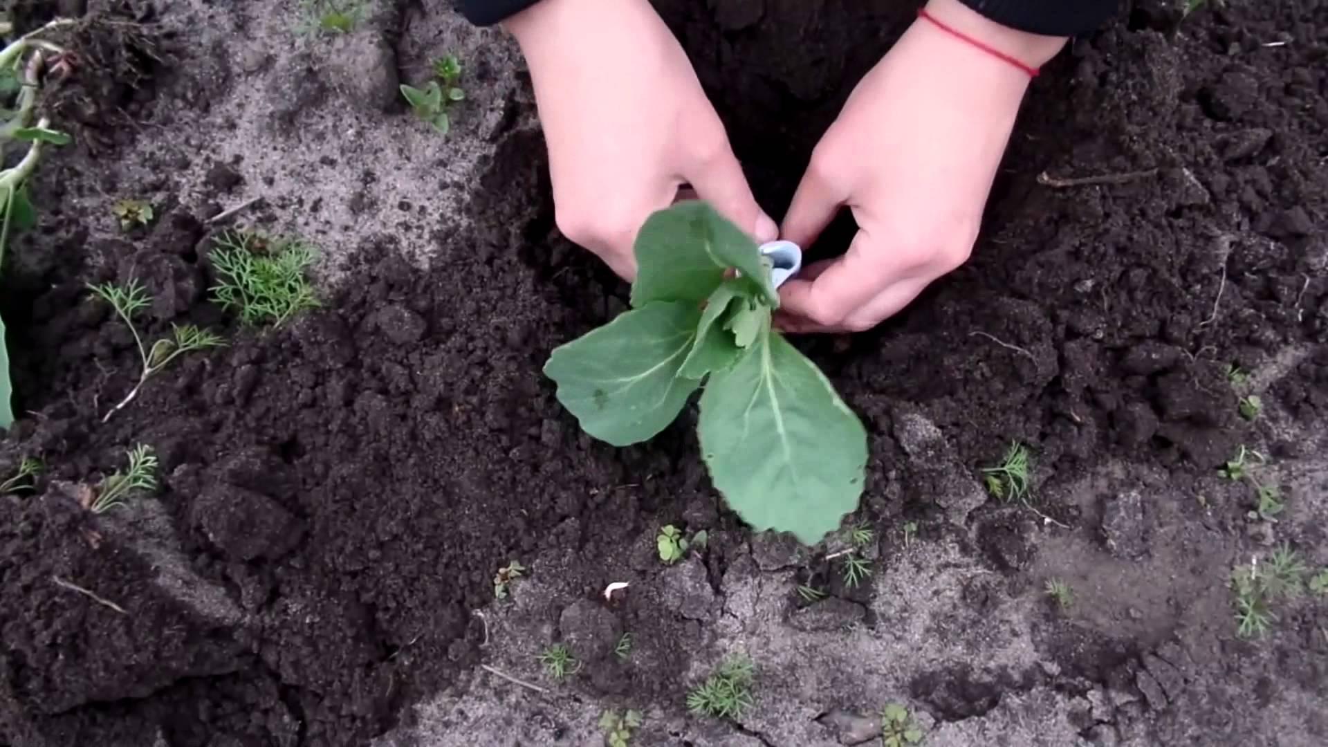 Выращивание цветной капусты в открытом грунте: посадка и уход