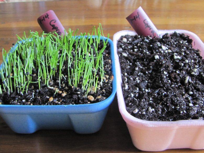 Как вырастить лук-порей из семян за один сезон: правила выращивания лука-порея рассадой в домашних условиях, сроки посадки на рассаду и в грунт