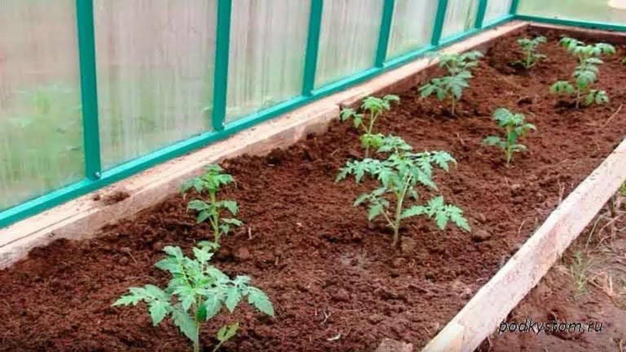 Помидоры черри выращивание в теплице: советы дачнику
