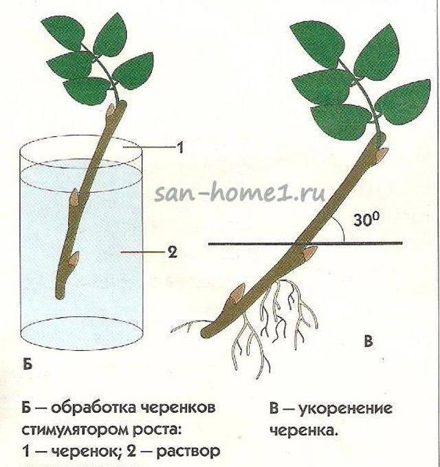 Размножение сливы: корневой порослью, когда отсаживать, отводками размножение сливы: корневой порослью, когда отсаживать, отводками