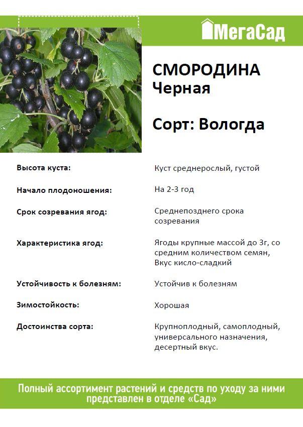 Смородина черная гулливер описание сорта