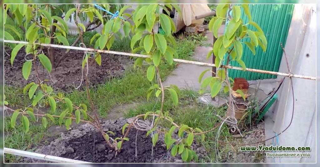 Актинидия посадка и уход в подмосковье, размножение и выращивание киви, удобрения и подкормка, фото