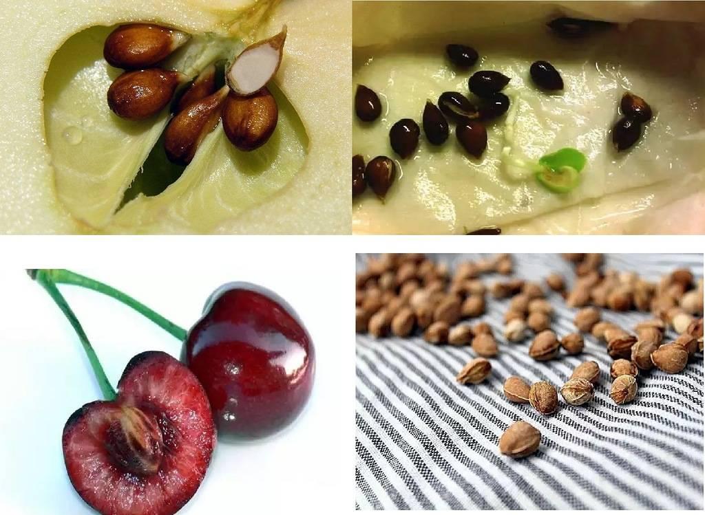 Как вырастить вишню из косточки: правила и способы в домашних условиях, стратификация семян