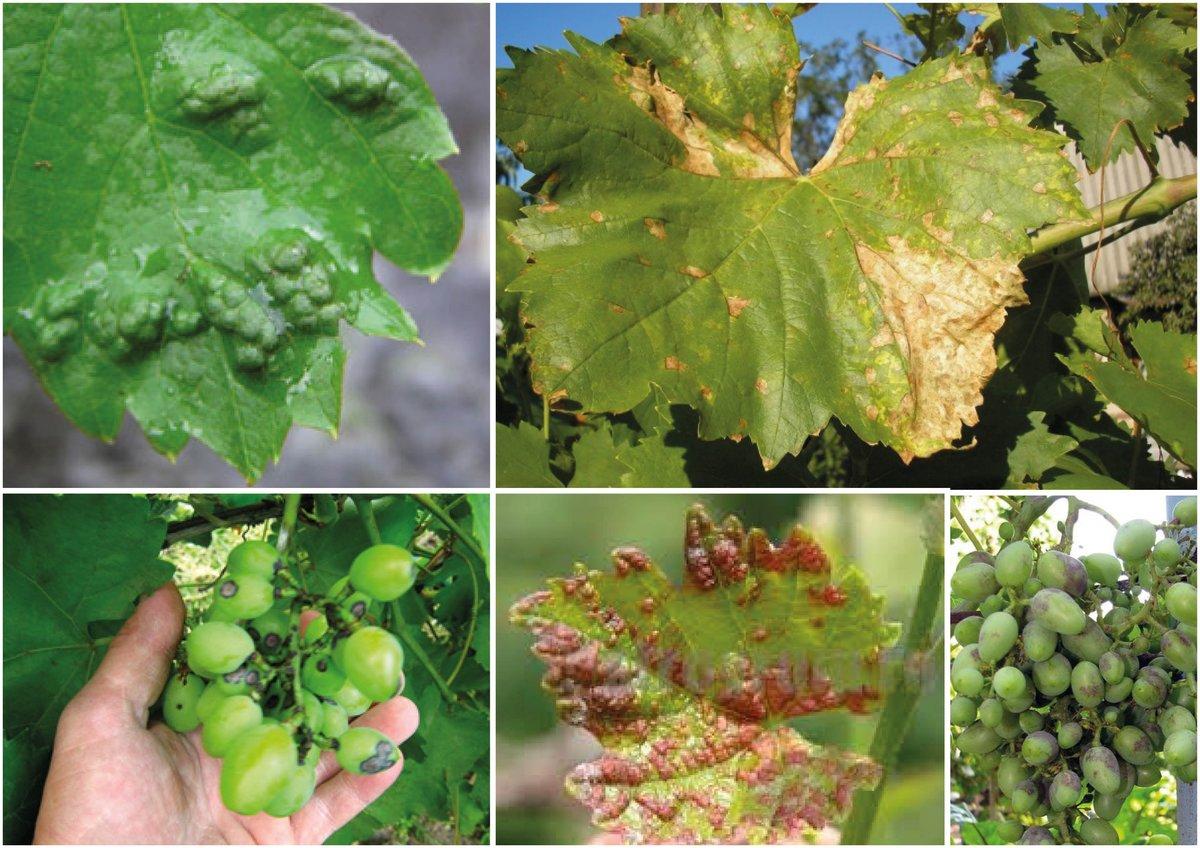 Виноградная филлоксера (листовая) — меры борьбы и препараты