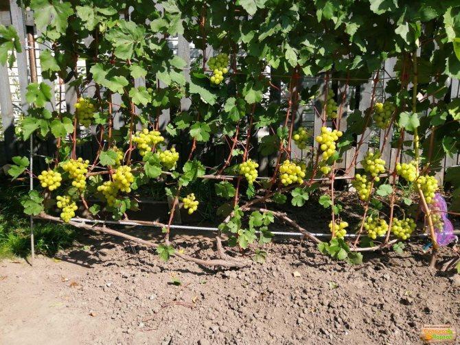 На какой год плодоносит виноград после посадки, видео и фото
