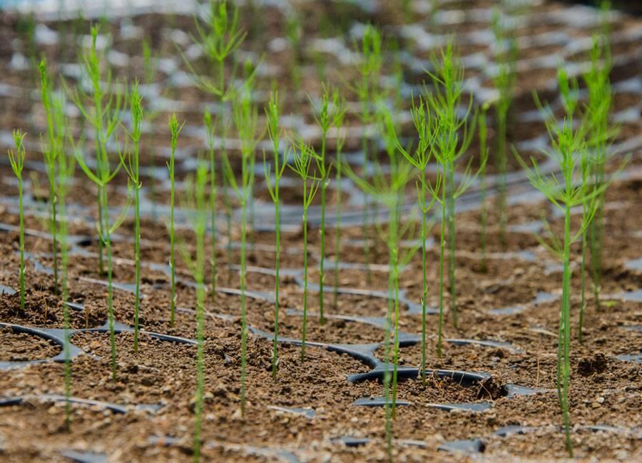 Спаржа аржентельская: выращивание из семян в домашних условиях с пошаговым алгоритмом и как вырастить из рассады в открытом грунте и фото овощной культуры