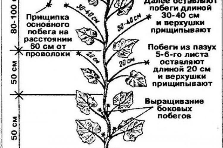 ✅ схема прищипывания арбузов и дынь в открытом грунте: правила формирования - tehnomir32.ru