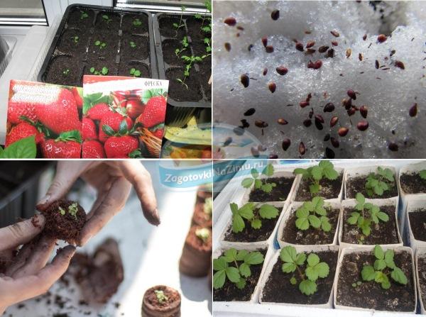 Стратификация семян клубники в домашних условиях