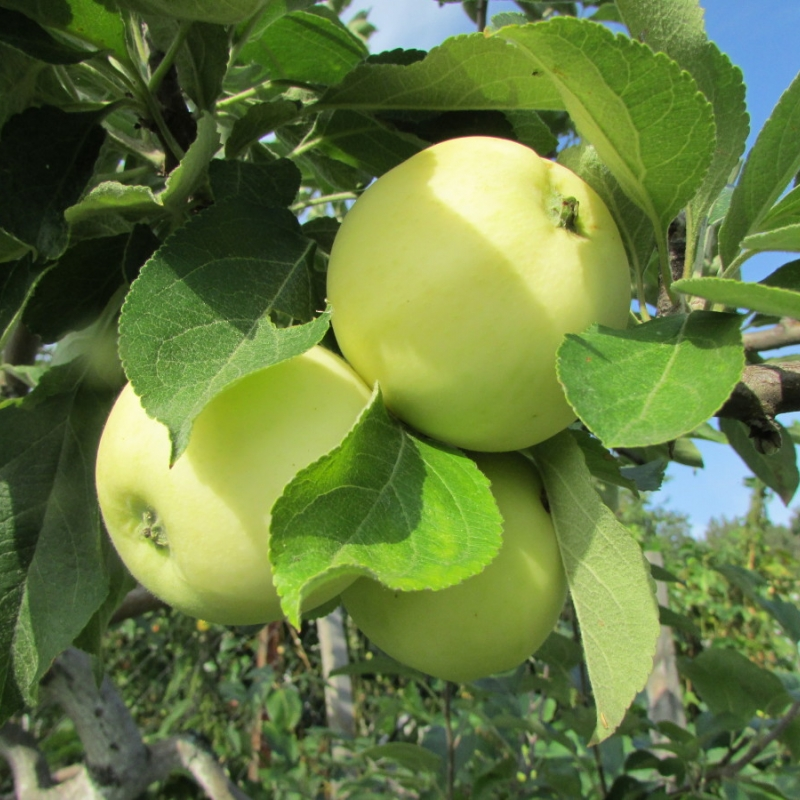 Описание сорта яблони апрельское: фото яблок, важные характеристики, урожайность с дерева