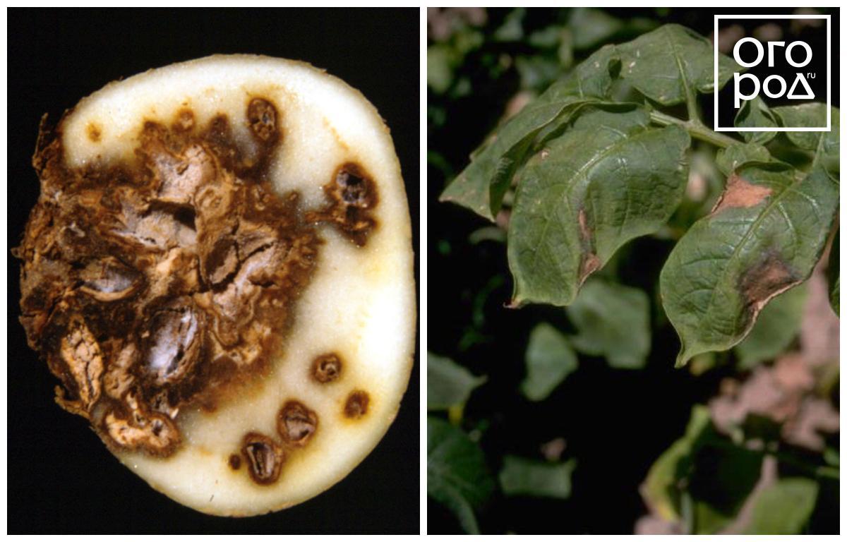 Фузариоз: лечение на пшенице, томатах, огурцах, картофеле, чесноке