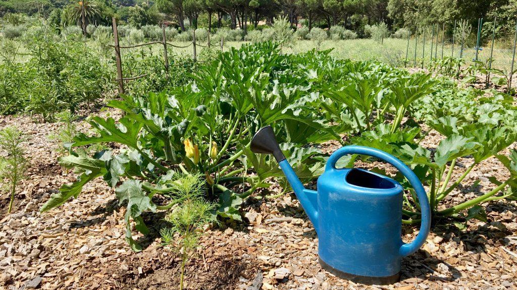 Кабачки: выращивание на огороде, сорта