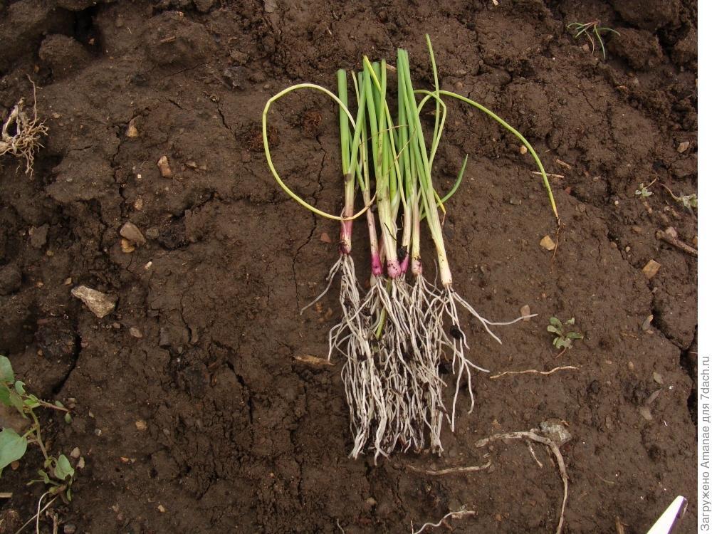 Выращиваем через рассаду гигантский лук «эксибишен»