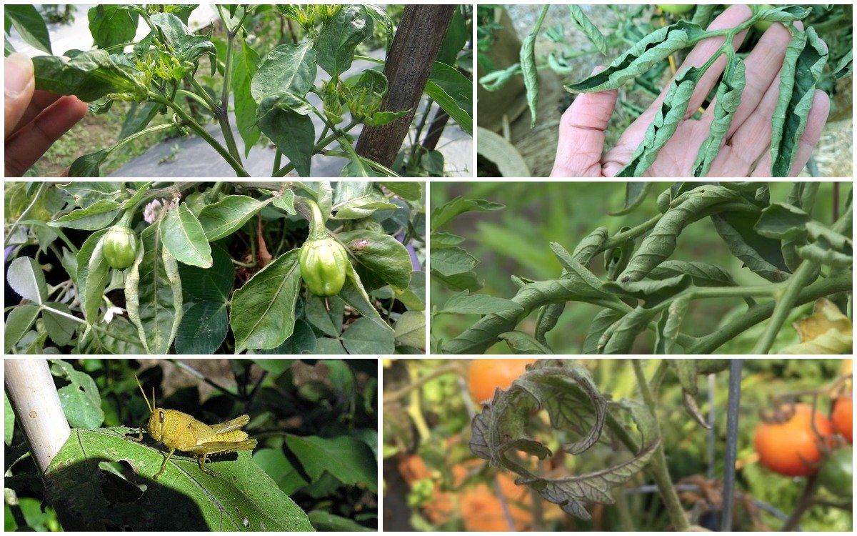 Почему скручиваются листья у помидоров и что делать? | садоёж
