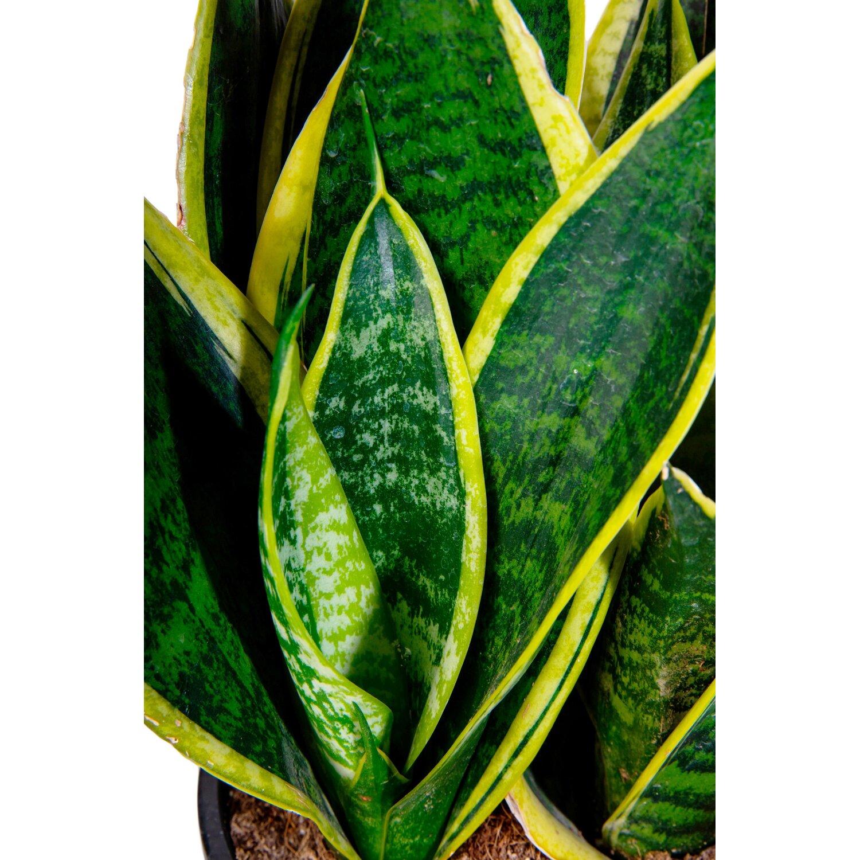 Виды сансевиерии (62 фото): особенности сортов «лауренти» и «муншайн», вида зейланика и других, описание цветка «тещин язык» и его разновидности