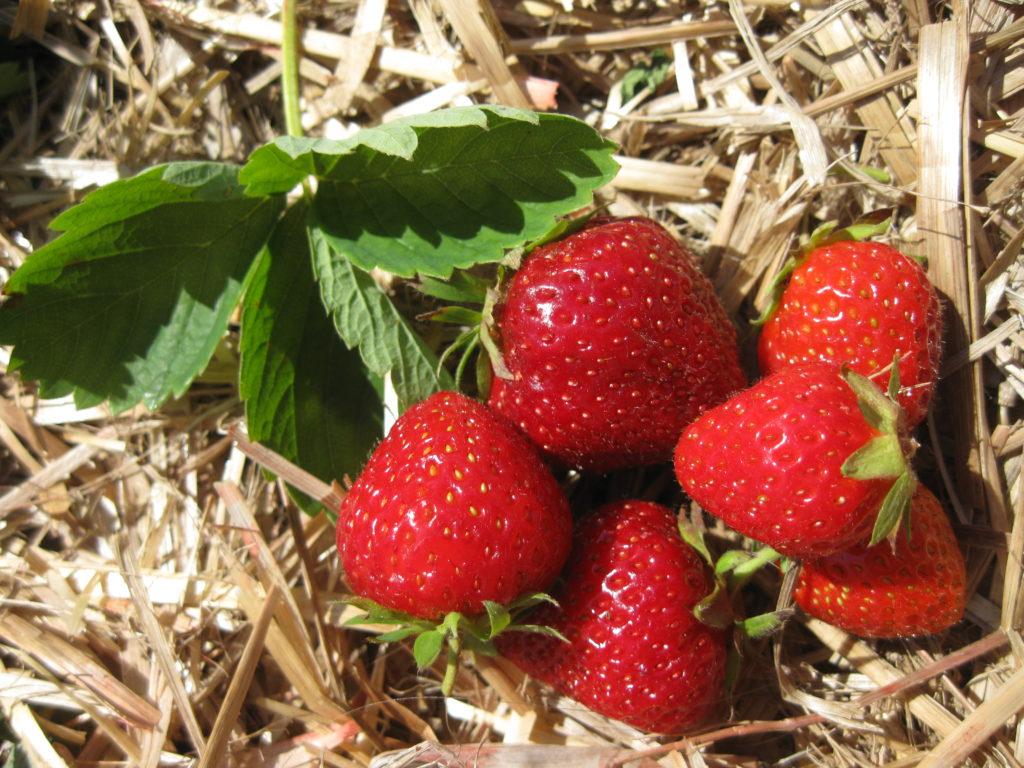 Клубника маршал: отзывы, секреты выращивания, описание, фото