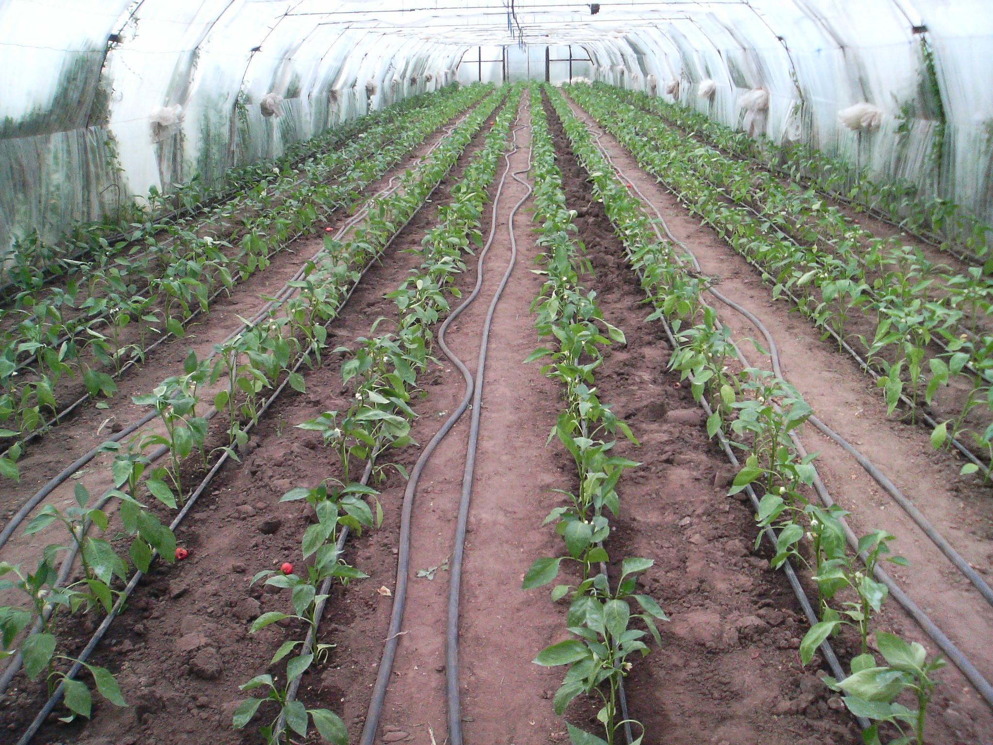 Все про выращивание и уход за картофелем в открытом грунте