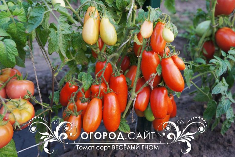 Томат веселый гном: отзывы, фото, урожайность, описание и характеристика сорта