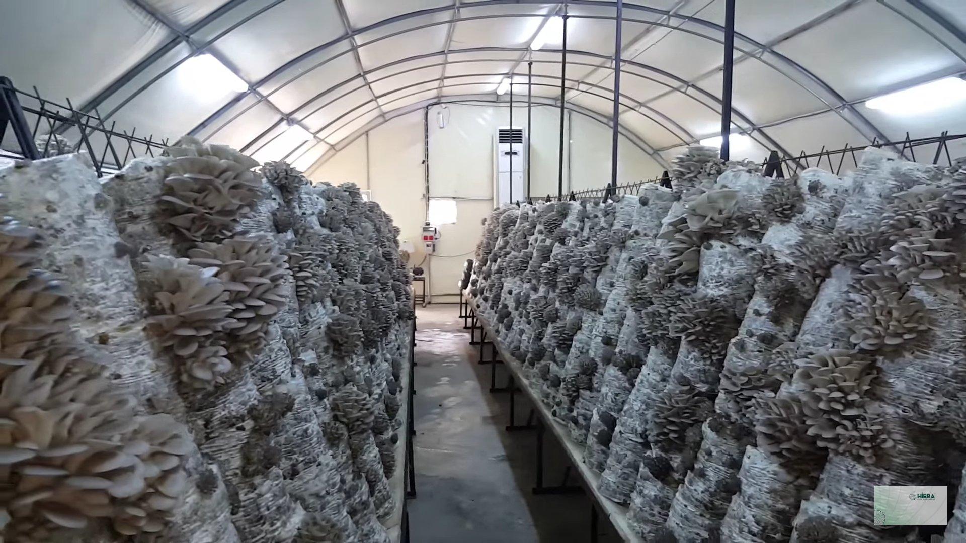 Выращивание белых грибов: особенности и перспективы развития