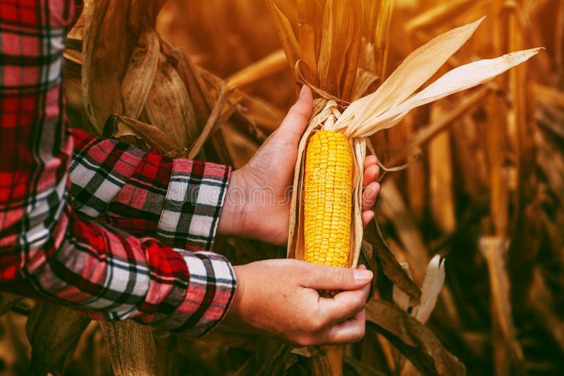 Уборка кукурузы: на зерно, на силос, влажность кукурузы при хранении