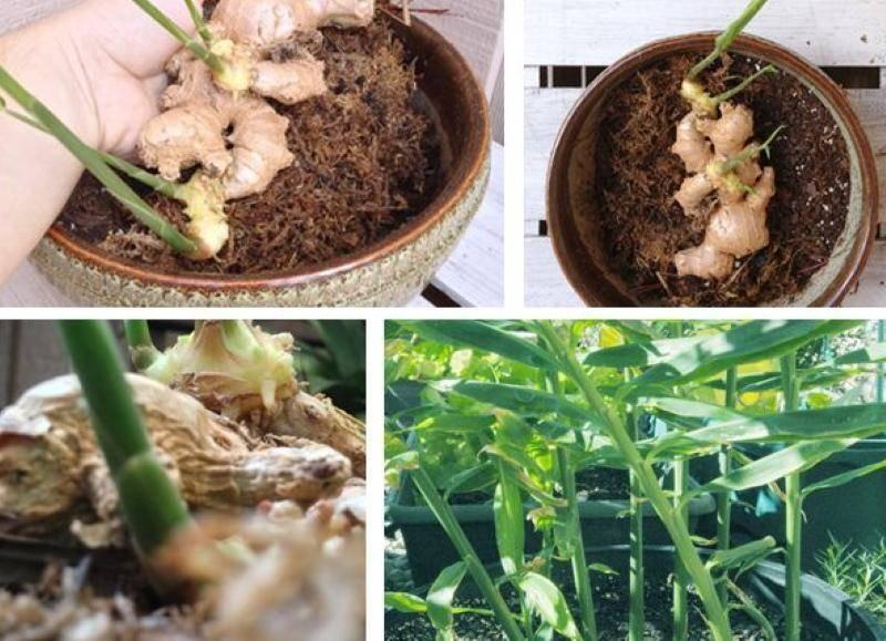 Имбирь – выращивание в открытом грунте на все случаи жизни