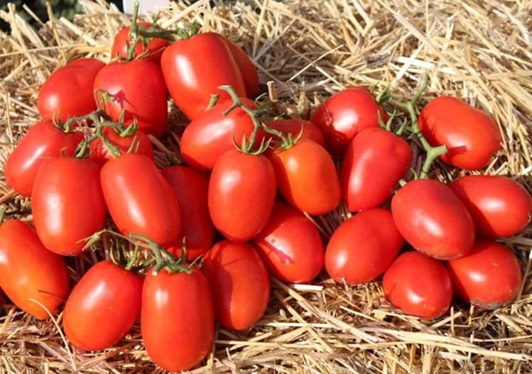 Описание сорта томата дино f1, особенности выращивания и урожайность – дачные дела