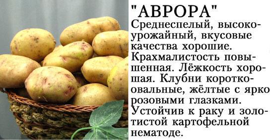 Картофель «наташа»: описание сорта, фото, отзывы