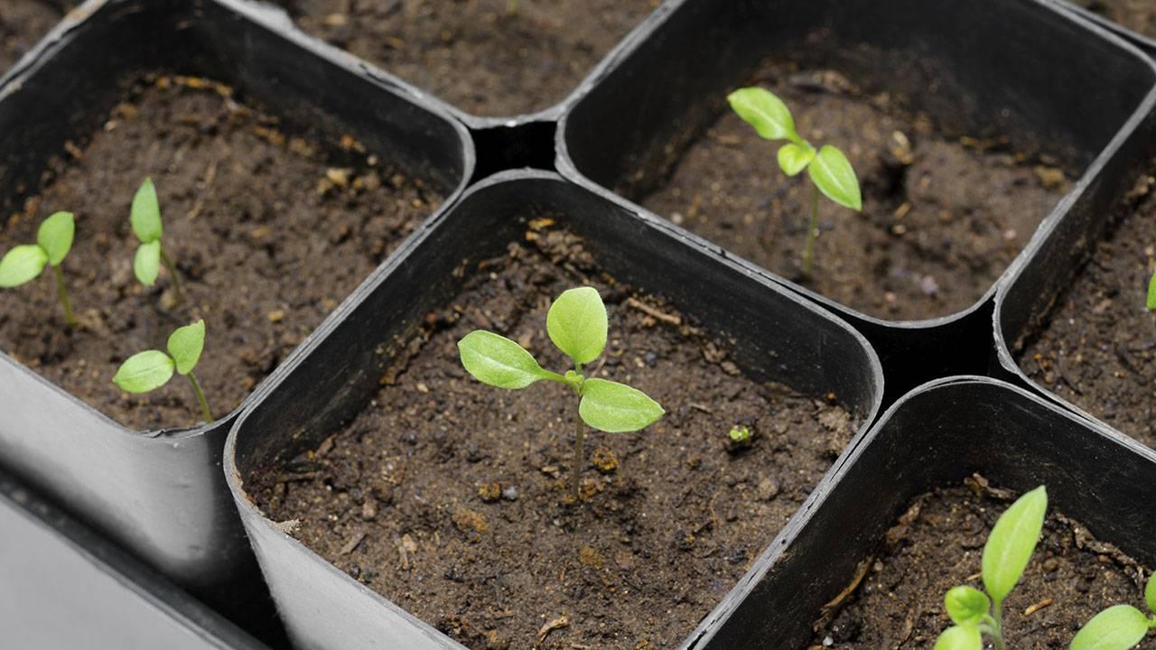 Подготовка семян перца и баклажан к посеву на рассаду: как выбрать и отбраковать посевной материал, все этапы подготовки к посадке русский фермер