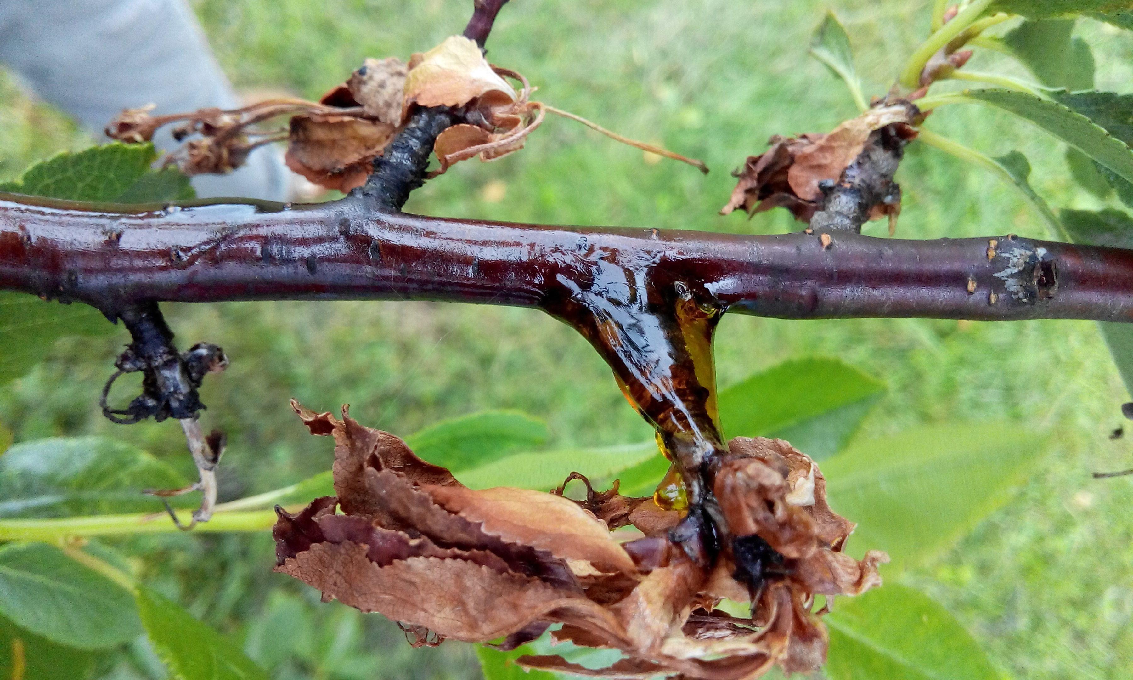 Монилиоз вишни как лечить