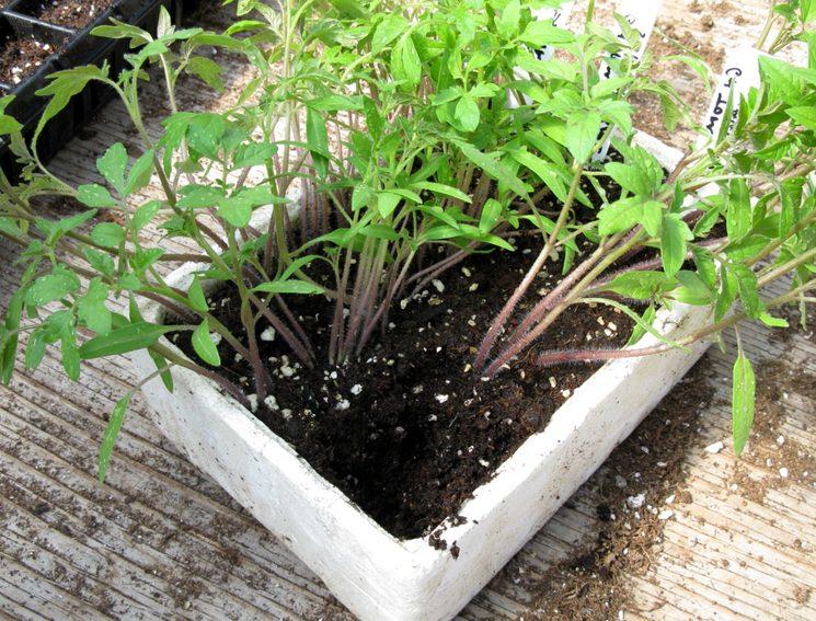 Подкормка рассады томатов и перца народными средствами: чем подкормить растения огороднику