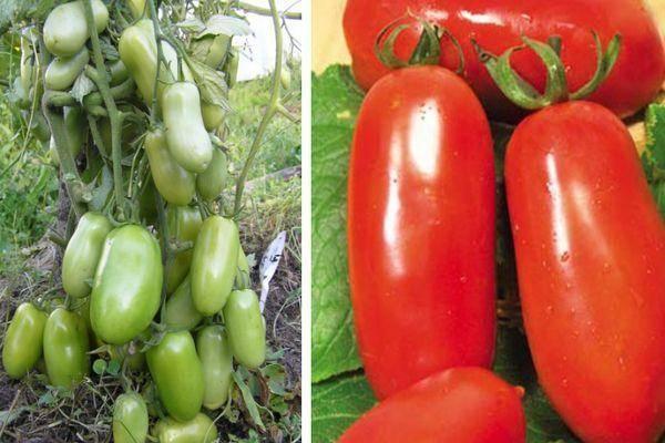 Сорт помидоров дачник: описание раннего сорта томатов, посадка и уход, правила выращивания, вкусовые качества, отзывы дачников и фото